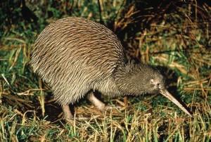 kiwi bird nzd nickname